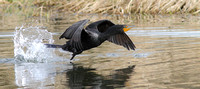 Double-creasted Cormorant