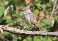 Ash-throated Flycatcher 2 Sept 14 2014 Bbay small Airport  2070