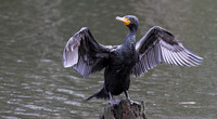 Double-creasted Cormorant 2