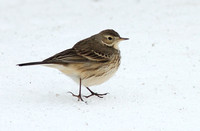 American Pipit 3