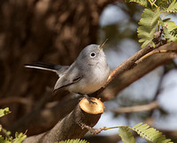 Blue-gray Gnatcatcher Dec 1 2016 Casa Grande  4846