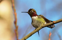 Anna's Hummingbird male 1 Jan 20 2014 Mill Lake  274