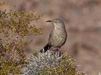 Curve-billed Thrasher Dec 12 2016 Picacho az  5074