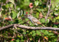 Ash-throated Flycatcher Sept 14 2014 Bbay small Airport  2066