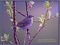 Alaska-Gray-cheeked-Thrush