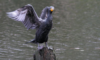 Double-creasted Cormorant 3