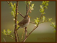 Alaska-Grey-cheeked-Thrush-