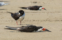 Black Skimmer mar 30 2014 Convention center Resting  558