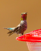 Anna's Hummingbird May 15 2014 Ash Canyon  1254