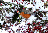 American Robin berry snow 2