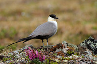 Long-tailed Jaeger 3