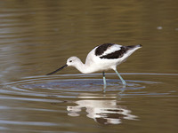 American Avocet Dec 9 2016 Gilbert Water Ranch Az  5020