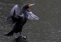 Double-creasted Cormorant 4