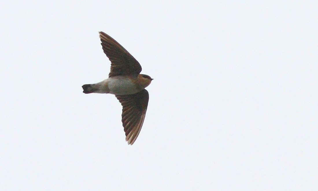 Len Jellicoe's Photos: Swifts and Swallows Nighthawks &emdash; Cave Swallow 2