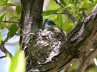 Black-capped GNATCATCHER MAY 14 2014 Madera  1242