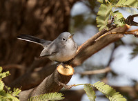 Blue-gray Gnatcatcher Dec 1 2016 Casa Grande  4847