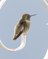 Anna's Hummingbird Nov 29 2014  586