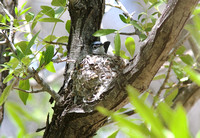 Black-capped GNATCATCHER MAY 14 2014 Madera  1241